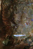 Flathead scorpionfish Royalty Free Stock Photos