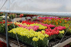 Flats of colorful Springtime flowers under tented greenhouse Royalty Free Stock Photo