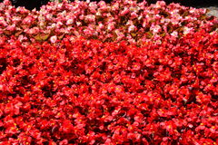 Flats of red orange begonias await planting Edwards Gardens Stock Image