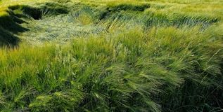 Flatten wheats field after summer storm. In the farm royalty free stock image