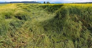 Flatten wheats field after summer storm. In the farm royalty free stock photography
