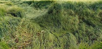 Flatten wheats field after summer storm. In the farm royalty free stock photos