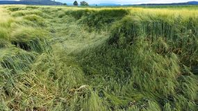 Flatten wheats field after summer storm. In the farm stock images