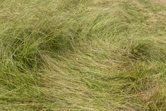 Flattened green grass. A long leaf flatten squashed bushy green grass - close up background stock photography