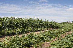 Flattened Rows of Chardonnay Vines. Royalty Free Stock Photo