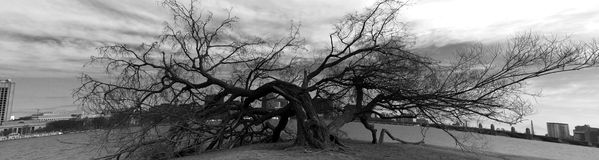 Flattened Tree. Tree Ravaged by a Passing Storm stock photography