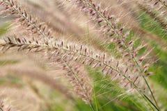 Flattern-Gras Lizenzfreies Stockfoto