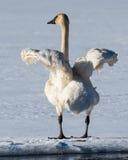Flatternder Tundra-Schwan seine Flügel Lizenzfreies Stockfoto