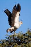 Flatternsekretärvogel lizenzfreie stockbilder