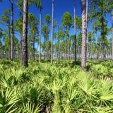 flatwoods Florida sosna zdjęcie royalty free