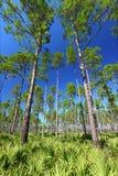 flatwoods Florida sosna fotografia royalty free