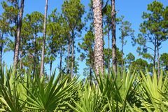 flatwoods Florida sosna Zdjęcie Stock