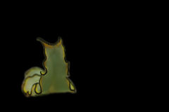 Flatworm. A flatworm with black background Royalty Free Stock Photography