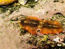 Flatworm 1 de la alfombra fotografía de archivo libre de regalías