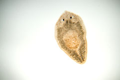 Flatworm de Planaria foto de stock royalty free