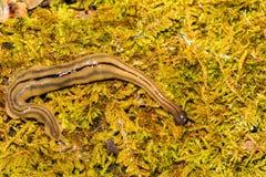 Flatworm del Hammerhead fotos de archivo libres de regalías
