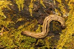 Flatworm del Hammerhead foto de archivo libre de regalías