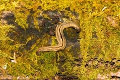Flatworm del Hammerhead fotos de archivo