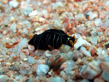 Flatworm del tigre Fotografía de archivo