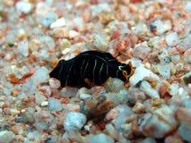 Flatworm della tigre fotografia stock