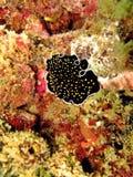 Flatworm marino fotografia stock