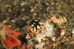 Flatworm - Pseudobiceros scintillatus royaltyfri bild