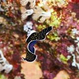 Flatworm punteado oro fotografía de archivo