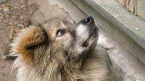 Flaumig, obdachlos, nicht reinrassig, sitzt dvorgyaga Hund und schaut oben zur Seite stockfotos