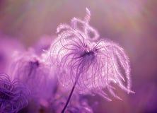 Flaumig - Weichheitsblume stockbild
