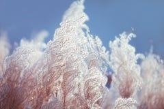 Flaumige Baumwolle mag Anlage im Wind auf blauem Himmel Stockbilder