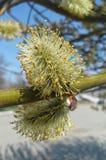 Flaumige Blüte Lizenzfreie Stockbilder
