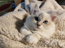 Flaumige blaue Augen Miezekatzekätzchen kittycat Katze schmiegt sich an lizenzfreie stockfotografie