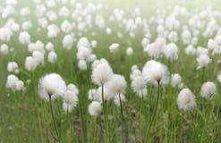Flaumige Blumen Lizenzfreies Stockbild