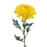 Flaumige gelbe Blumenchrysantheme Stockbilder