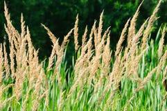 Flaumige gelbe Kräuter im Wald am sonnigen Tag des Sommers Lizenzfreie Stockfotos