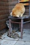Flaumige graue Katze Stockbilder