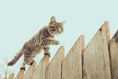 Flaumige graue Katze, die auf einen alten Bretterzaun geht Lizenzfreie Stockbilder