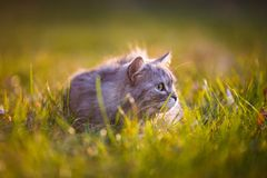 Flaumige hellgraue Katze, die draußen im grünen Gras sitzt Lizenzfreies Stockbild
