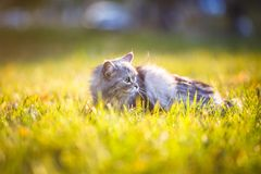 Flaumige hellgraue Katze, die draußen im grünen Gras sitzt Lizenzfreies Stockfoto
