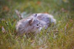 Flaumige hellgraue Katze, die draußen im grünen Gras sitzt Lizenzfreie Stockbilder