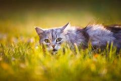 Flaumige hellgraue Katze, die draußen im grünen Gras sitzt Lizenzfreie Stockfotos