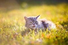 Flaumige hellgraue Katze, die draußen im grünen Gras sitzt Stockbilder