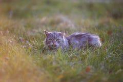 Flaumige hellgraue Katze, die draußen im grünen Gras sitzt Stockfotografie