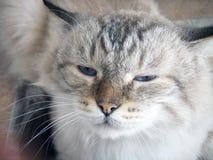 Flaumige Katze Stockfoto