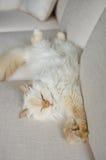 Flaumige Katze bequem auf weißer Couch Stockfotografie