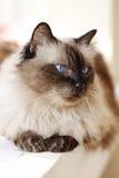 Flaumige Katze mit blauen Augen Stockfotos