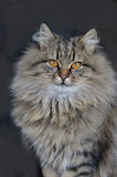 Flaumige Katze mit gelben Augen Lizenzfreie Stockfotografie