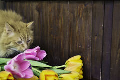 Flaumige Katze mit Tulpen Stockbild
