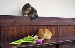 Flaumige Katze mit Tulpen Stockfoto