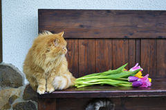 Flaumige Katze mit Tulpen Lizenzfreie Stockbilder